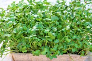 Semená reďkovky na pestovanie mikrozeleniny a na klíčenie – DAIKON