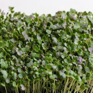 aponského horčičného špenátu (Komatsuna) na pestovanie mikrozeleniny